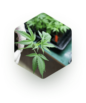 Cannabinoid Formulations